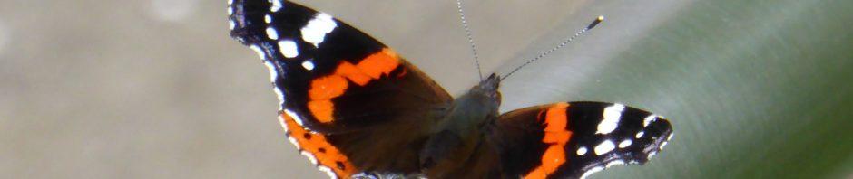 Schmetterling - Admiral